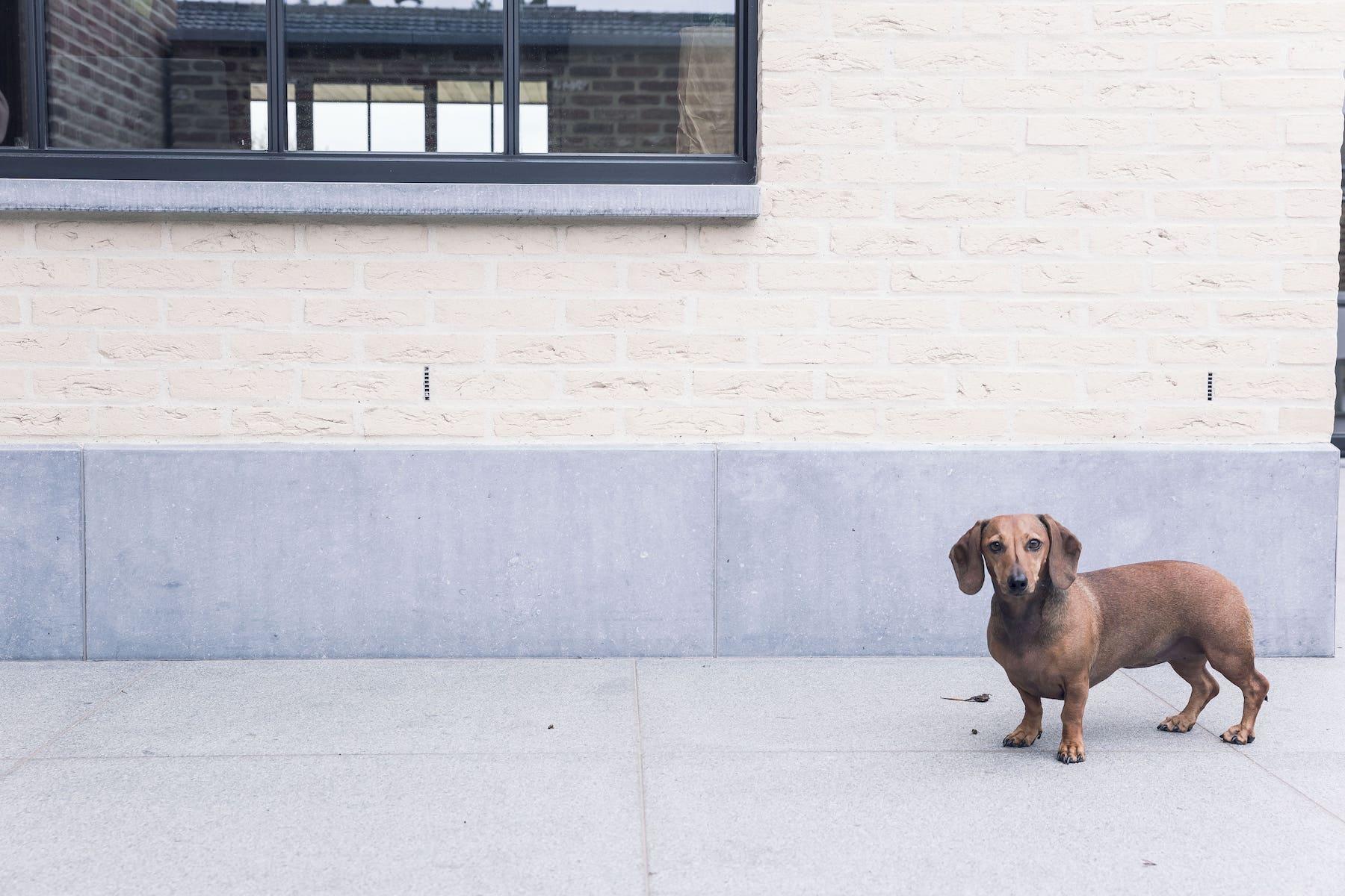 hond voor muur natuursteen